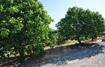 ANTI01 - Agriturismo im Chianti - Bäume