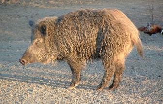 MANC01 - Bio-Gutshof bei Manciano - Wildschwein