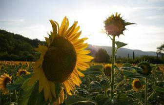 SOVI01 - Agriturismo bei Sovicille - Pflanzen