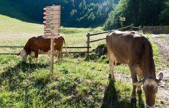 PUST02 - Familienhotel im Pustertal-Vals - Kühe