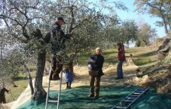 CORT11 - Casale bei Cortona - raccolta olive (2)