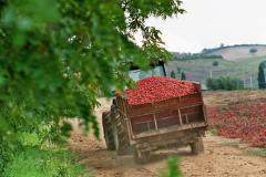 IST01 - Landgut bei Istia d' Ombrone - Tomatenernte